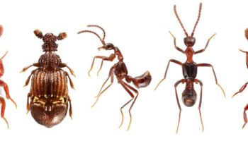 How Predictable Is Evolution? An Ant-Loving Beetle Holds Answers