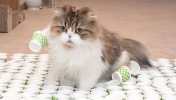 Woman Challenges Her Cats To Cross The Most Intricate Paper Cup Obstacle Course