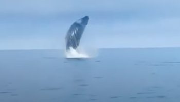 Whale Jumps *All* The Way Out Of The Water