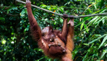 What Orangutans Taught Me About Motherhood