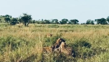 Lioness Cunningly Sneaks Up On Hyena Pack And Claims Their Kill