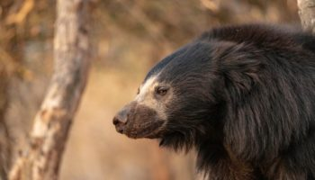 How To Make Peace With The World's Deadliest Bears