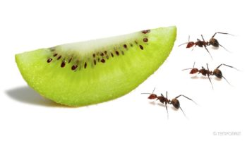 This Time Lapse Of Ants Devouring A Kiwi Is Oddly Satisfying