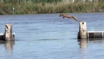 Watch This Bobcat Make An Incredibly Long, Nearly Impossible Leap Across The Water
