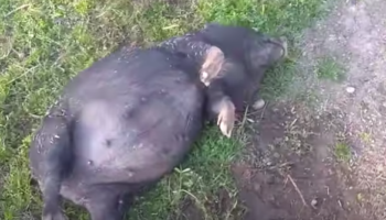 Pig Is Hilariously Wasted After Drinking Way Too Much Moonshine