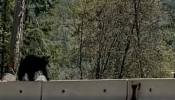 This Bear Cub Learning How To Climb Over A Barrier Is The Most Wholesome Thing You'll See Today