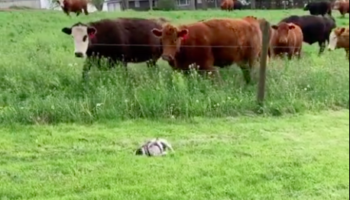 Cows Quietly Sneak Up On Pug, End Up Scaring The Crap Out Of Him