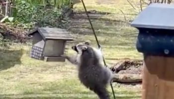 Man Provides Hilarious Play-By-Play Commentary For A Raccoon Attempting To Raid His Backyard Bird Feeder