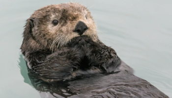 Otters Love To Juggle, But Scientists Aren't Sure Why