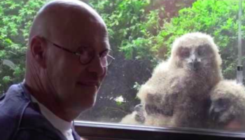 Dutch Man Has A Nest Of Eagle Owls, One Of The World's Largest Owls, Nesting Right Outside His Window