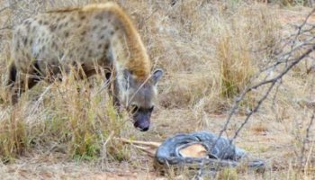 Safari-Goers Spot A Sneaky Hyena Steal An Impala From A Very Unlucky Python