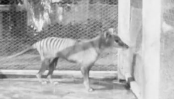 Here's The Last Known Footage Of A Tasmanian Tiger