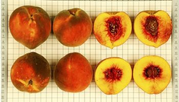 Shorter, Warmer Winters Are Killing Georgia Peaches. Three New Varieties Could Help Fix That
