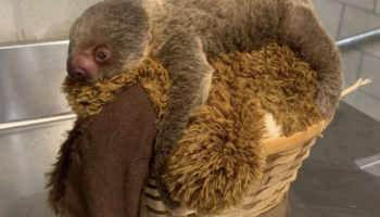 For Some Good News: Rhode Island Zoo Welcomes Baby Two-Toed Sloth