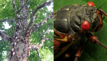 Bow, Humans: Trillions Of Cicadas Are Going to Rule America