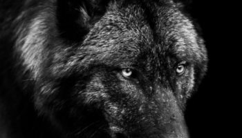A Feud In Wolf-Kink Erotica Raises A Deep Legal Question