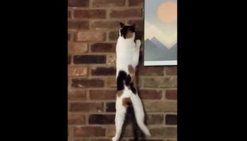 Watch This Cat Scale A Brick Wall Like A Rock-Climbing Ninja