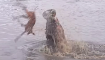 Watch Battles Unfold Between Hippos, Hyenas, Impalas And Wild Dogs In Drama-Packed Five-Minute Clip