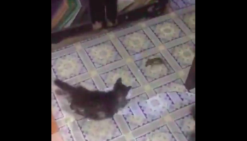 Rat Has Very, Uh, Unique Way Of Escaping From Two Cats