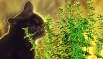 What Does Catnip Do To The Brains Of Cats?