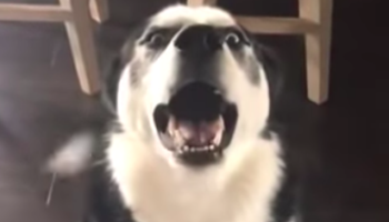 Husky Has Extremely Sassy Response To Being Scolded