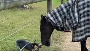 Incredibly Determined Puppy Plays Tug-Of-War With A Horse