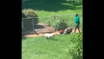 Dog Comes Up With Brilliant Way To Get Lawnmowing Owner To Play Frisbee With It