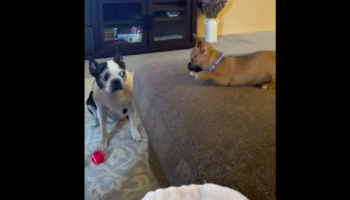 Older Dog Is Not Amused By The Hijinks Of Overly Energetic Puppy