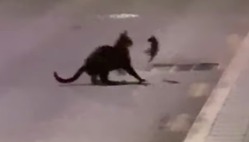 Watch This Wild Fight Between A Cat And A Flying Ninja Rat