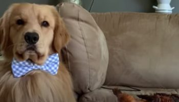 Here's What Happened When A Golden Retriever Was Left Alone With A Roast Chicken