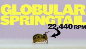 Watch This Globular Springtail Jump And Spin Faster Than Any Animal On Earth