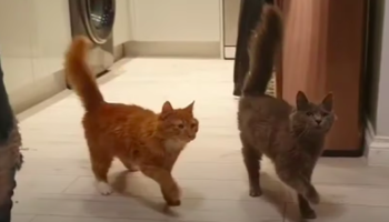 Watch Two Cats March In Perfect Unison Towards Their Dinner