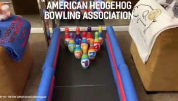 Someone Got Their Hedgehogs To Compete Against Each Other In Bowling And It's Our New Favorite Sport