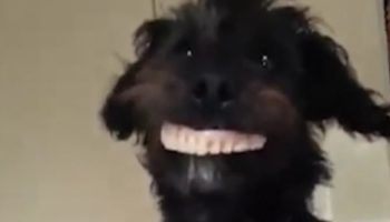 Hilariously Curious Dog Tries On Dentures And Gives A Toothy Grin