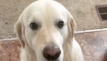 This Video Of A Golden Retriever Apologizing To His Brother For Stealing Will Melt Your Heart