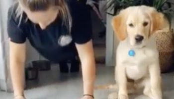 This Golden Retriever Puppy Is The Best Workout Partner, Does Push-Up With Its Owner