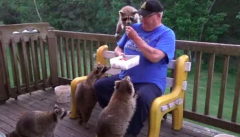 Watch A Raccoon Whisperer Feed Eight Very Well-Mannered Raccoons On His Deck