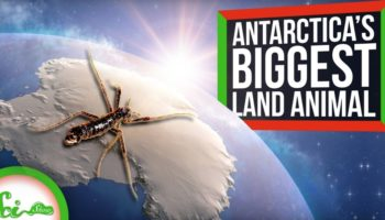 How The Largest Terrestrial Animal On Antarctica Is Able To Survive On The Icy Continent