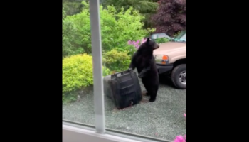 Watch A Bear Try Its Best To Open A Bear-Proof Trash Can
