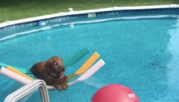 This Golden Retriever Floating On Pool Noodles Is Chilling Harder Than Any Dog Has Ever Chilled