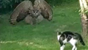 Watch This Owl Go Into Full-On Intimidation Mode When Encountering A Cat