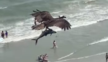 Here's An Osprey Carrying Away A Giant Ass Fish To The Shock Of Beachgoers