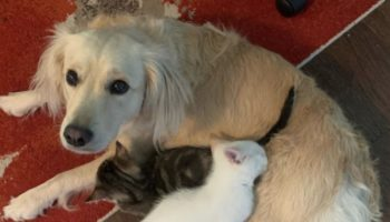 This Video Of A Golden Retriever Being A Foster Mom To Orphaned Kittens Is The Sweetest Thing You'll See Today