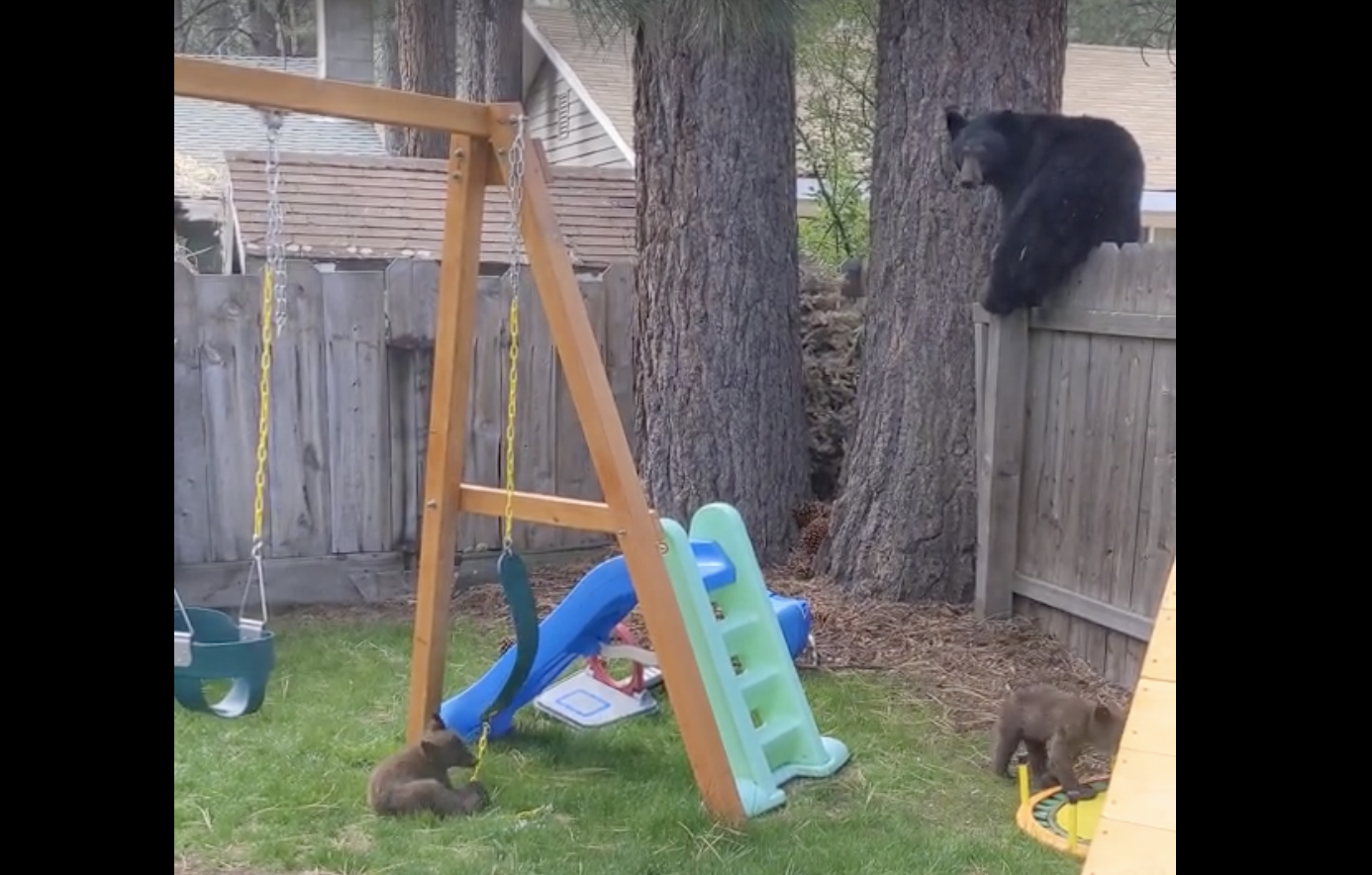 Bear Family Takes Over Empty Backyard To Simply...