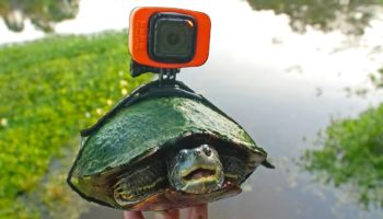 Guy Straps A GoPro On His Turtle. The Perspective It Yields Is Amazing