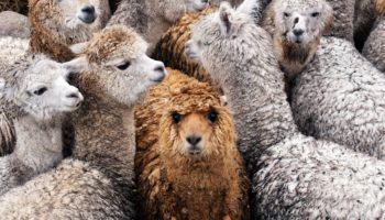 Llamas — Yes, Llamas — Could Help Us Fight COVID-19