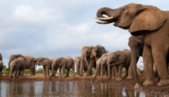What's Killing Botswana's Elephants? Here Are The Top Theories
