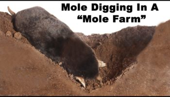 The Secret Way That Moles Dig Tunnels Revealed In A Transparent Box Full Of Soil