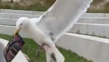 Seagull Makes Off With Girl's Purse In Stunning Heist