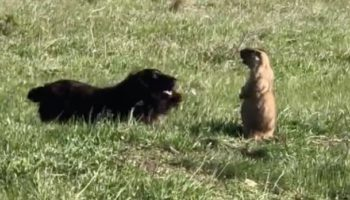 Groundhog Has An Epic Standoff With An Overly Excited Dog